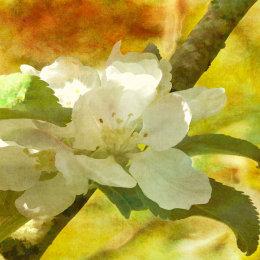 Apple-blossom-textured