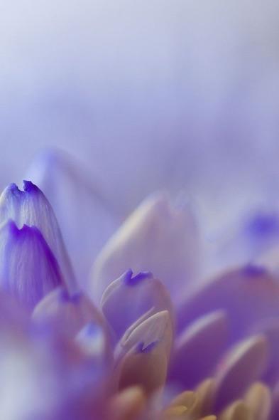 Blue-&-White-Petals