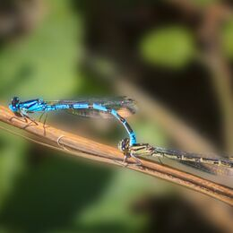 Blue-Damsel-fly-mating