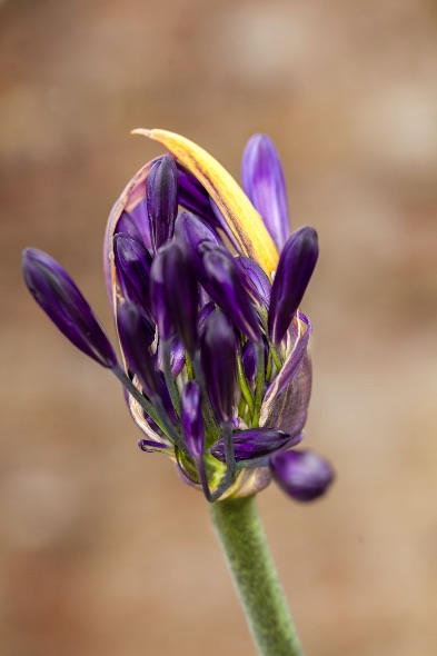 Blue-Headed-Flower