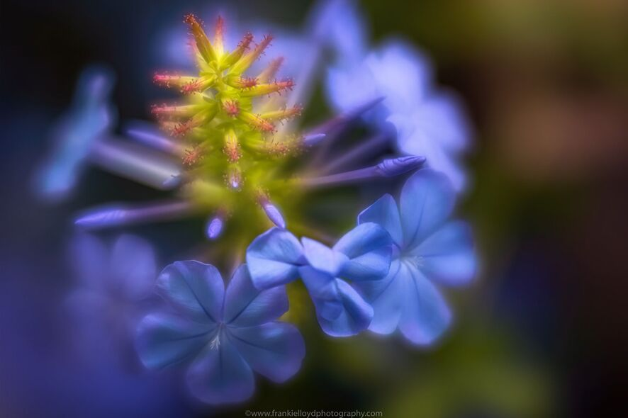 Blue-and-Green-bulbous-flower