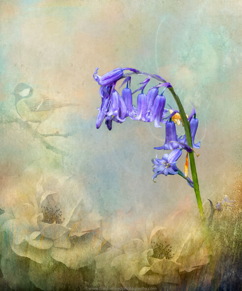 Bluebell-digital-1