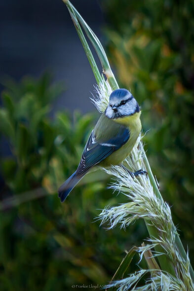 Bluetit-on-pampas-grass-2