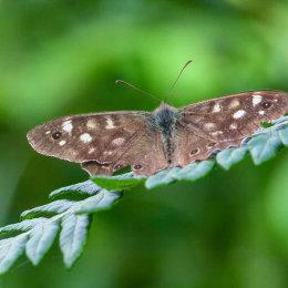 Butterfly-brown-fret