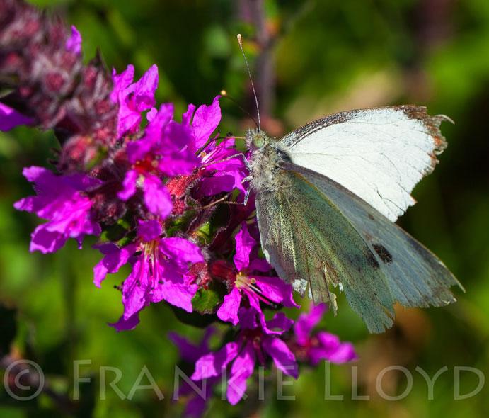 Butterfly Green veined white fenor