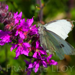 Butterfly Green veined white fenor