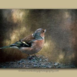 Chaffinch-shadow