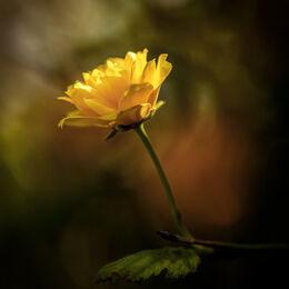 Chavasses-Yellow-Flower-preset