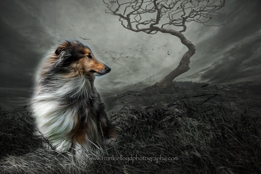 Collie-Dog-b&W