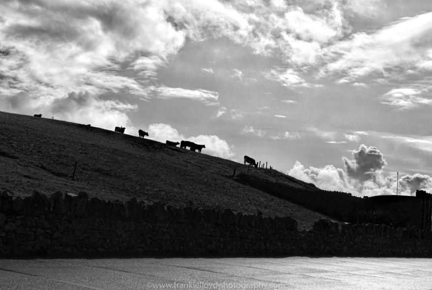 Cows-Annestown-BnW