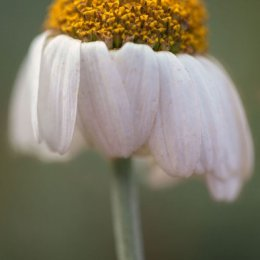 Daisy-Drooping