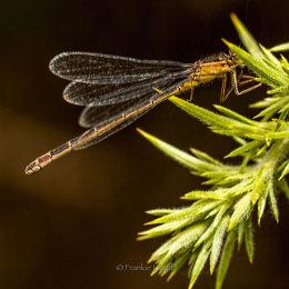 Damsel-fly