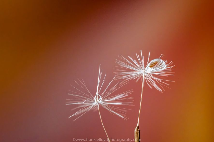 Dandelion-Seed-1a