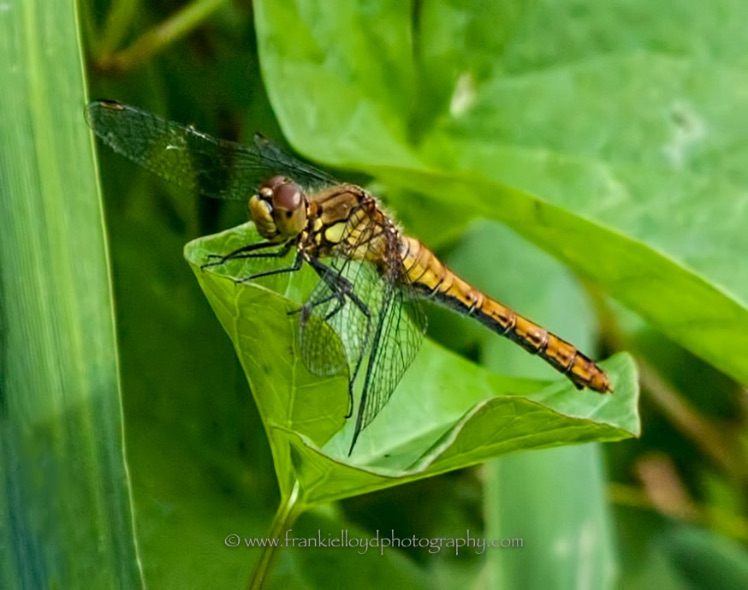 Darter-Female