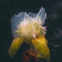 Decaying-Iris-textured
