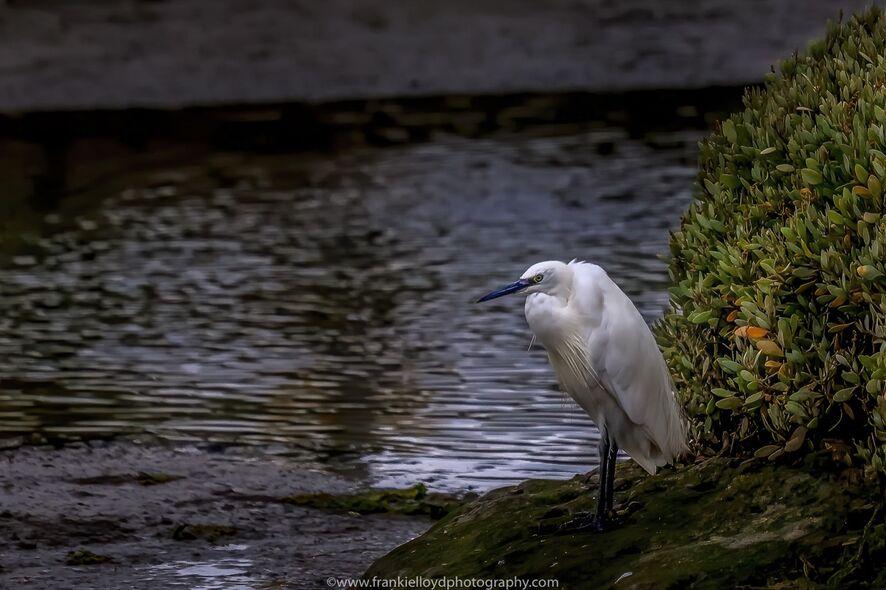 Egret-New-Line