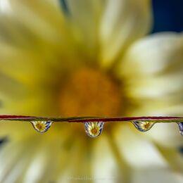 Five-drop-yellow-flower