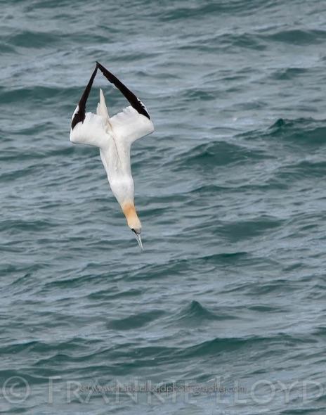 Gannets Superdive