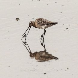Godwit with worm