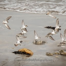 Golden-Plover-in-Flight-Ballinclamper