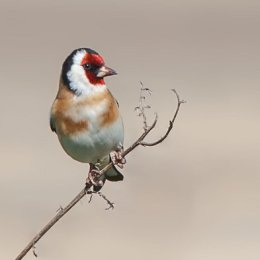 Goldfinch-perched