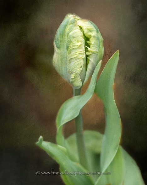 Green-Tulip-head