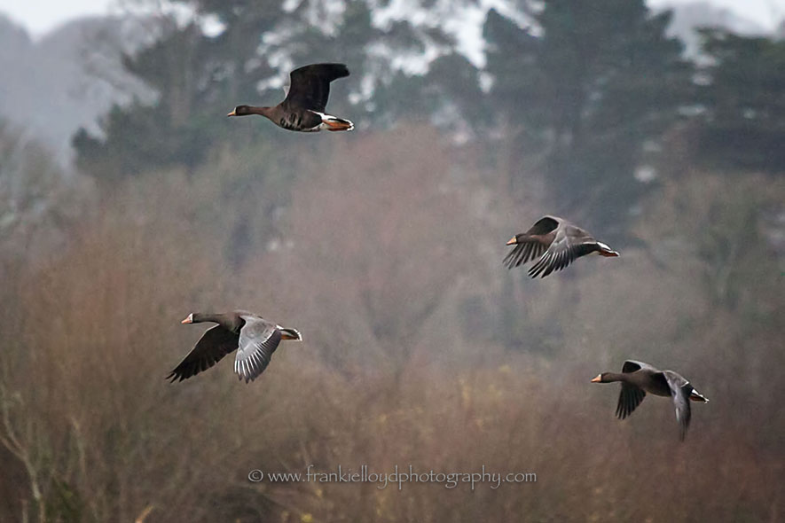 Greylag-by-four