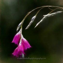 Hanging-Pink-Flower