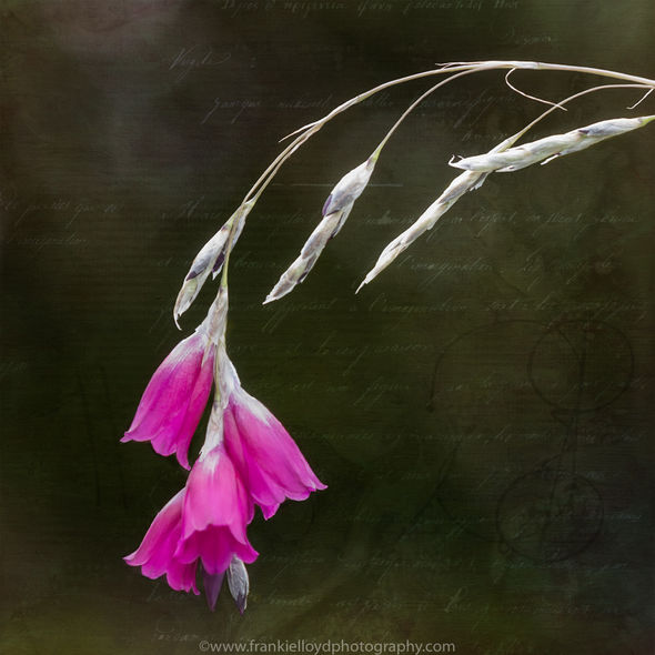 Hanging-pink-flower-with-script-tex-12x12