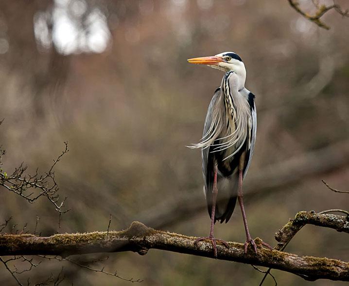 Heron-Stradbally