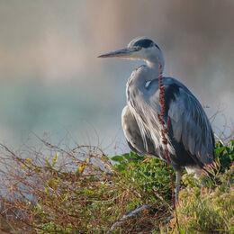 Heron-dungarvan