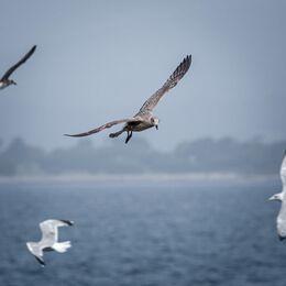 Herring-Gull-Juvenile