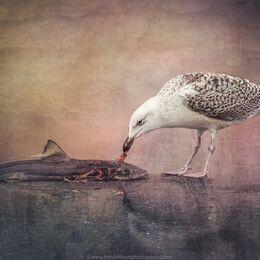 Herring-Gull-with-fish