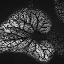 Hosta-Leaves-BnW