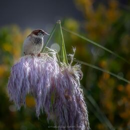 House-Sparrow-on-Pampas-Grass-1