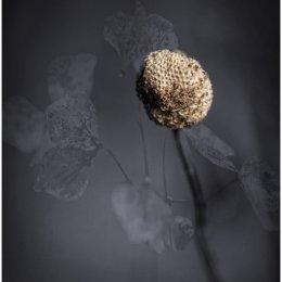 Hydrangea-Head-BnW