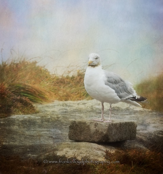 Kerry-Seagull-textured
