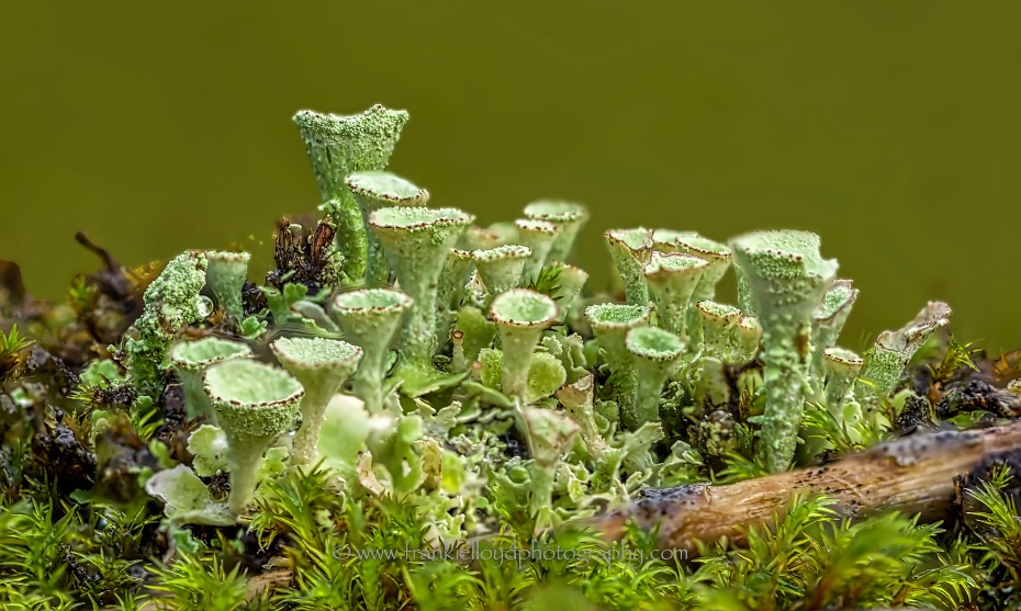 Lichen-tubes-bunch