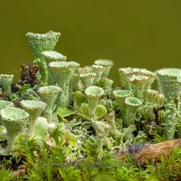 Lichen-tubes-bunch