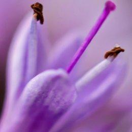 Lilac-Petal