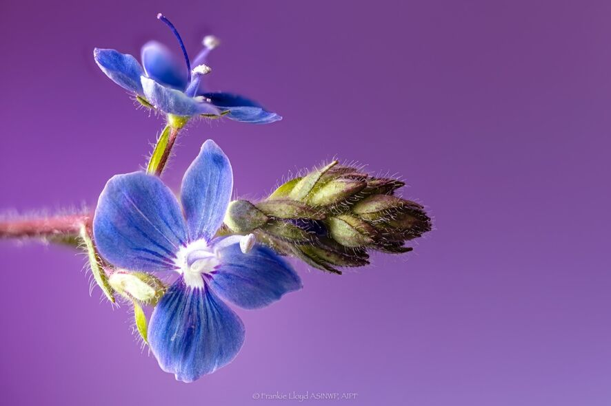 Little-blue-double-flower-110-stack-1