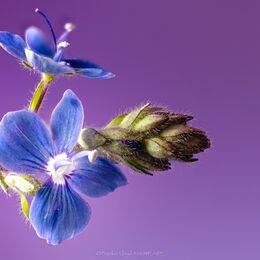 Little-blue-double-flower-110-stack-1