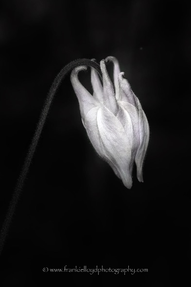 Lone-BnW-flower-tinge-of-colour