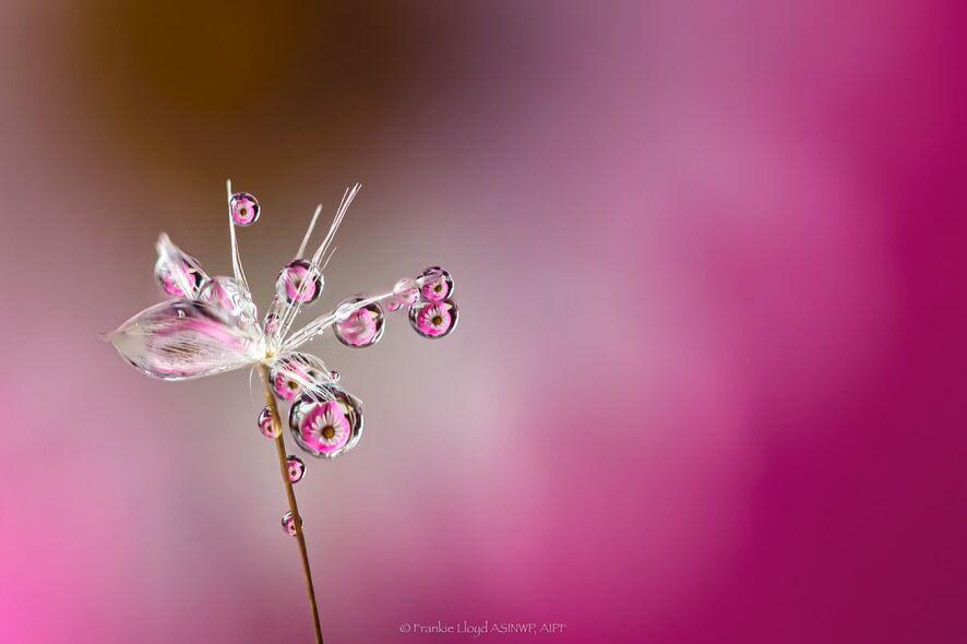 Lots-of-waterdrops-on-dandelion