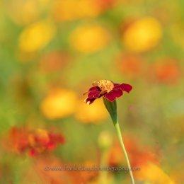 Magenta-Flower
