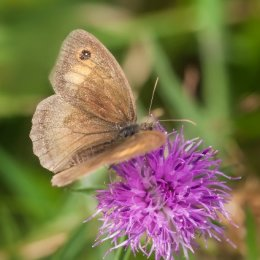 Meadow-Brown