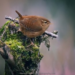 Native Irish Wren