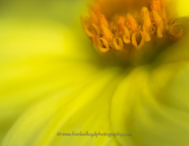 Orange-and-Yellow-Daisy