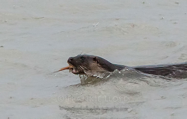 Otter fish in mouth swimming