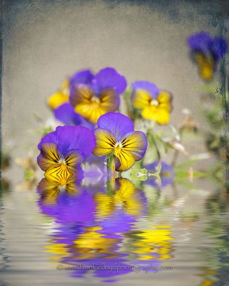 Pansies-with-water